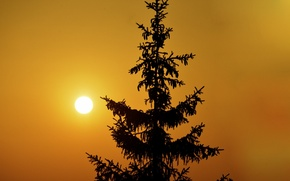 Picture the sky, the sun, sunset, tree, spruce, silhouette