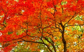 Wallpaper autumn, leaves, tree, trunk, crown, the crimson