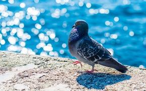 Picture bird, dove, walk