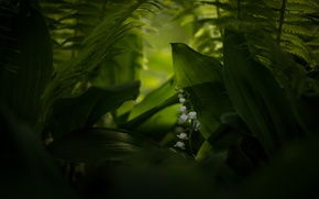 Picture macro, nature, Lily of the valley, Convallaria majalis