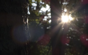 Picture forest, the sun, rays, nature, tree, the sun glare