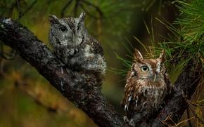 Wallpaper pair, birds, owls, tree