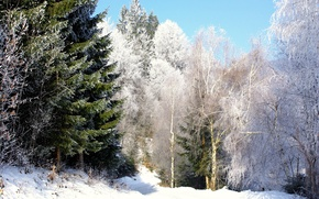 Picture winter, forest, snow, birch, tree