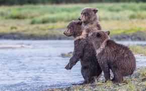 Picture Alaska, reserve, Katmai National Park, three bear