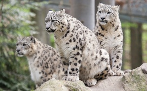 Picture cats, IRBIS, snow leopard, Trinity, Barca