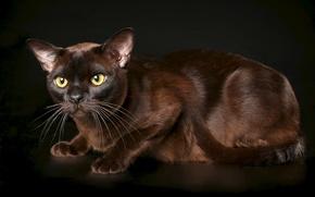 Picture cat, background, grace, Burma, the Burmese, chocolate color