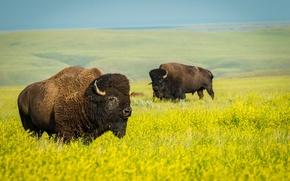 Picture field, nature, wildlife, national Park, rape, Buffalo