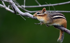 Picture branches, Chipmunk, rodent