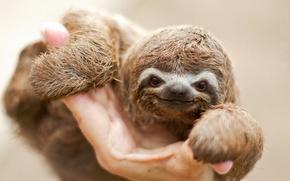 Wallpaper animal, look, muzzle, sloth