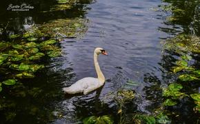 Picture love, swan, nature, bird, water, park, lake, animal