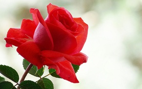 Picture glare, background, rose, red