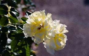 Picture white, photo, rose, roses, Flower, white