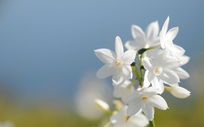 Picture field, white, flower, the sky, macro, blue, spring, petals