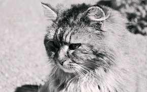 Picture black and white, spring, fluffy, Cat, SEMA