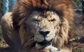 Picture animals, predators, Leo, the king of beasts, wild cats, lions, animals, lion, lions, predators, wild …