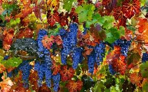 Wallpaper summer, nature, grapes