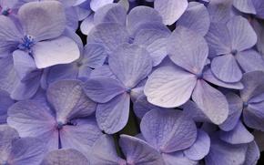 Picture macro, petals, hydrangea