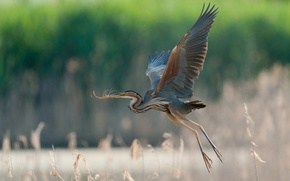 Picture flight, wings, great blue Heron
