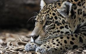 Picture animal, predator, head, Jaguar