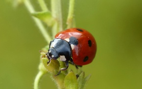 Picture plant, ladybug, stem, insect