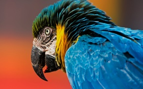 Picture background, bird, head, feathers, beak, parrot, Ara, Blue-and-yellow macaw