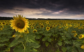 Picture field, sunflowers, clouds, sunflower, the evening