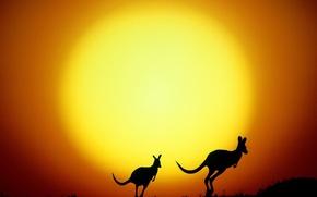 Wallpaper the sun, Australia, yellow, kangaroo