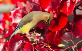 Wallpaper leaves, bird, paint, the Waxwing