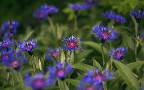 Picture blue, spring, cornflower, garden