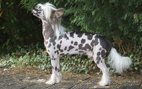 Picture glade, dog, Chinese crested dog