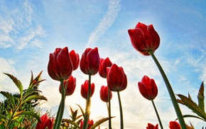 Wallpaper tulips, clouds, red, the sun, the sky, stems, buds