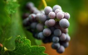 Wallpaper grapes, leaves