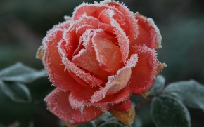 Picture cold, frost, autumn, flower, macro, flowers, nature, background, Wallpaper, rose, plant, roses, frost