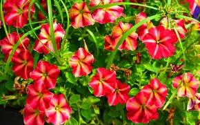 Picture leaves, nature, petals, garden, flowerbed, Petunia