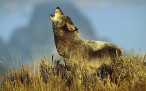 Picture vegetation, Wolf, howl, the sky