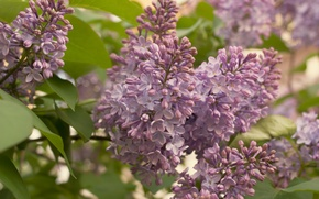 Picture flowers, nature, spring, may, lilac