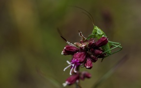 Picture flowers, macro, green, grasshopper, nature, insects