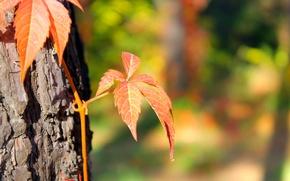 Picture autumn, Macro, blur, pine, ivy, Almaty, Botanical garden