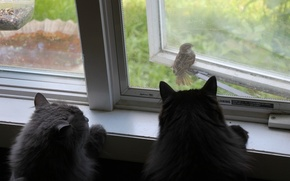 Picture cats, bird, cats, window, Sparrow, observation