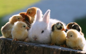Picture animals, chickens, rabbit, Easter