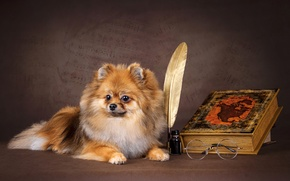 Picture dog, fluffy, glasses, book, Spitz