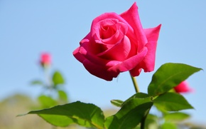 Picture the sky, rose, Bud