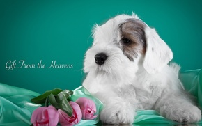 Picture flowers, tulips, puppy, fabric, the Sealyham Terrier