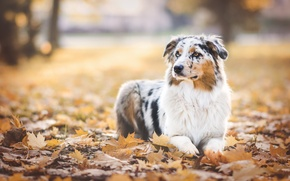 Picture autumn, leaves, Park, foliage, dog, Wallpaper from lolita777, Aussie