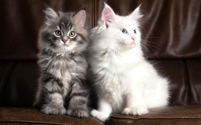 Picture white, cats, two
