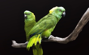 Wallpaper pair, birds, green parrots, black background