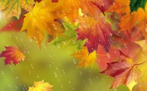 Picture autumn, leaves, drops, rain, maple