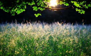 Picture grass, leaves, the sun, nature, tree, spikelets