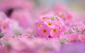 Wallpaper macro, flowers, background, pink, widescreen, Wallpaper, wallpaper, flowers, widescreen, background, full screen, HD wallpapers, Primula, ...