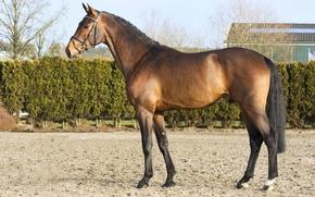 Picture horse, horse, stallion, handsome, chestnut, horse, stallion